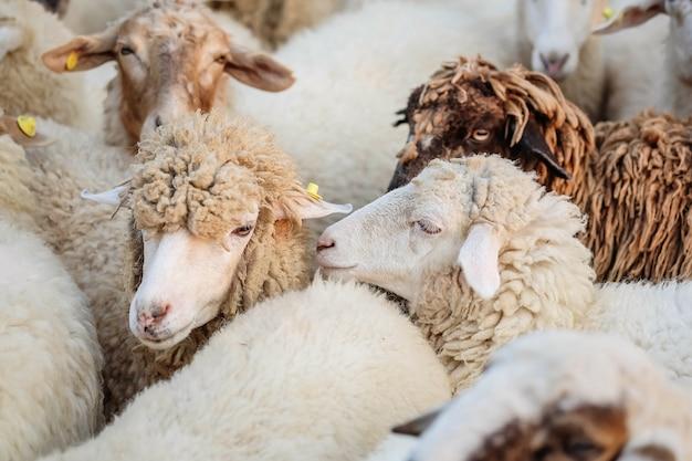 Closeup ovelhas esperam comida de turista no fundo da fazenda