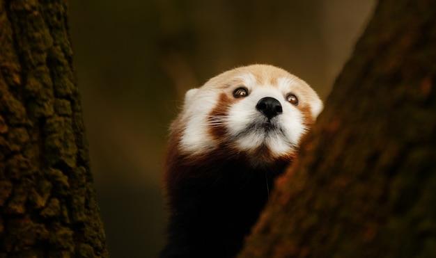 Closeup panda vermelho subindo em uma árvore