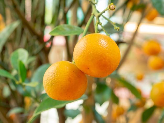 Closeup pequenas laranjas frescas penduradas no galho de uma árvore no jardim