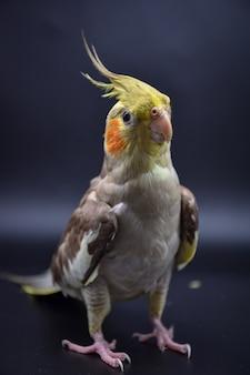 Closeup periquito de papagaio em periquito de papagaio preto