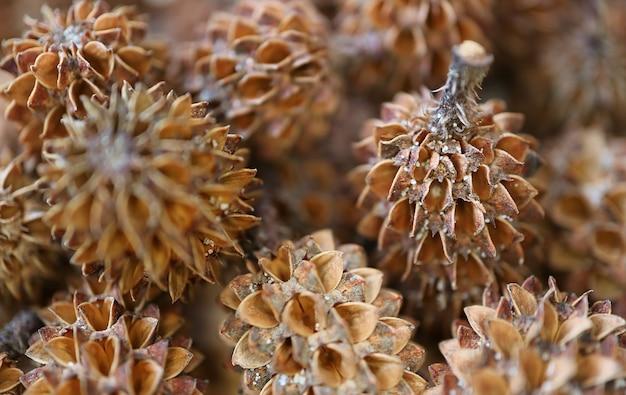 Closeup pilha de pequenas pinhas naturais de pinho australiano com foco seletivo