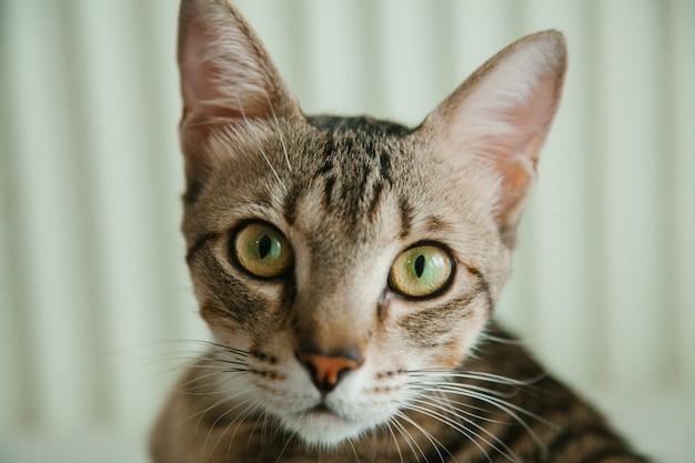 Closeup retrato de gato cinzento despojado