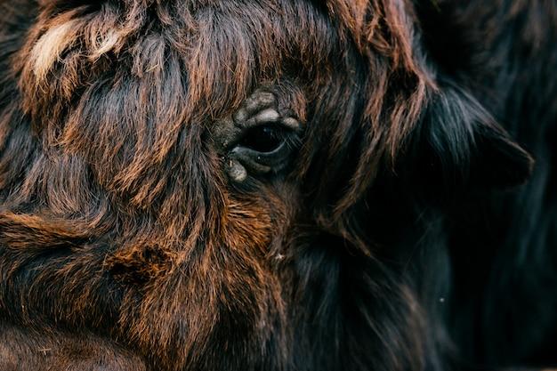 Closeup retrato de iaque tibetano
