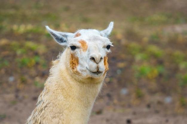 Closeup retrato de lhama branca