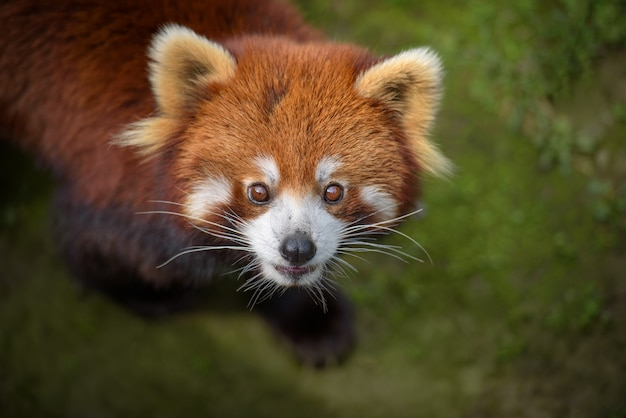 Closeup, retrato, de, panda vermelho
