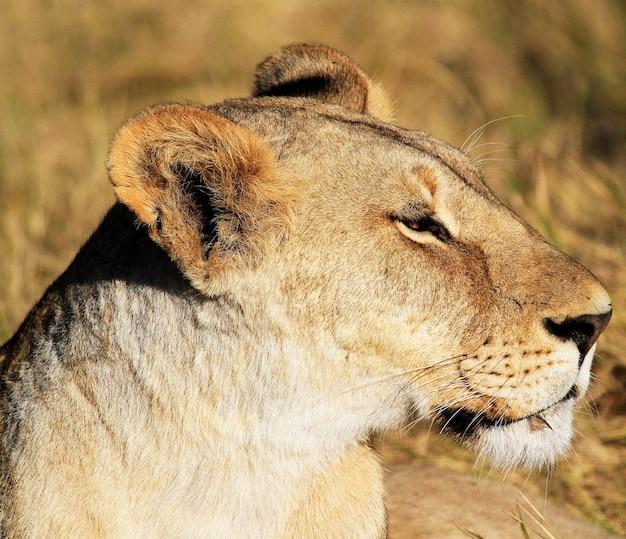 Closeup retrato de perfil de uma leoa sob a luz do sol