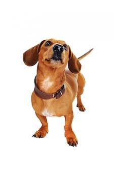 Closeup retrato de um cachorro dachshund