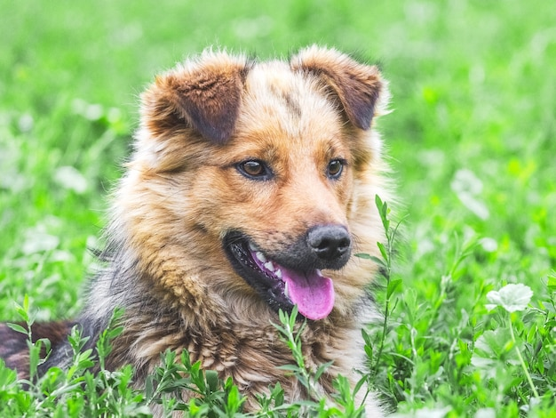 Closeup retrato de um cachorro marrom com uma aparência interessante.