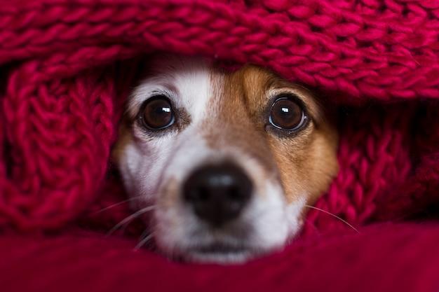 Closeup retrato de um cão pequeno bonito, sentado na cama