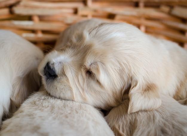 Closeup retrato de um filhote de retriever dourado recém-nascido dormindo