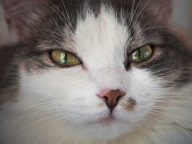 Closeup retrato de um gato tricolor fofo com olhos amarelos
