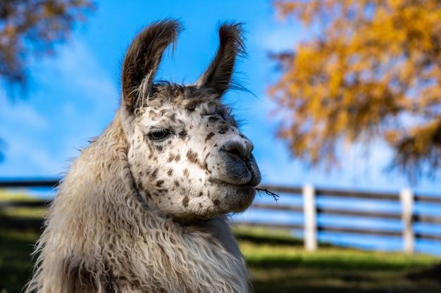 Closeup retrato de um lhama fofo em uma fazenda