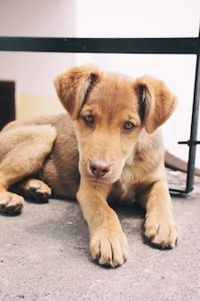 Closeup retrato de um lindo cachorrinho marrom adorável com lindos olhos tristes deitado no chão