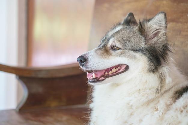 Closeup tailândia vidro cão raça bangkaew chamada sentado na cadeira de madeira turva