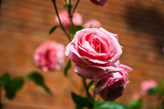 Closeup tiro da bela flor de rosa rosa desabrochando em um jardim em um fundo desfocado
