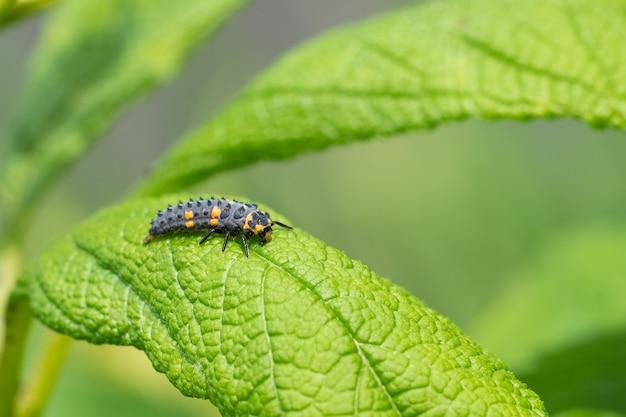 Closeup tiro da lagarta de uma joaninha em uma folha verde