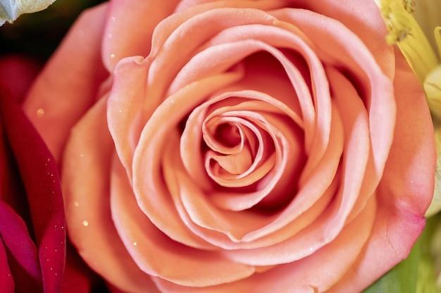 Closeup tiro da linda rosa rosa em fundo desfocado