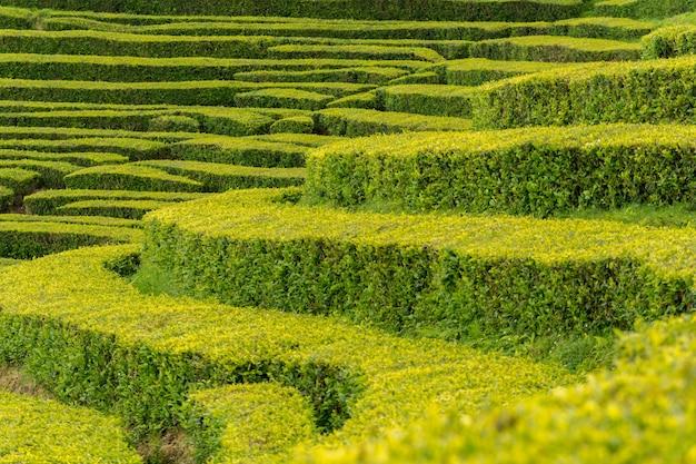 Closeup tiro das fileiras de plantações de chá verde mais antigas de uma fábrica de chá na ilha de são miguel, portugal