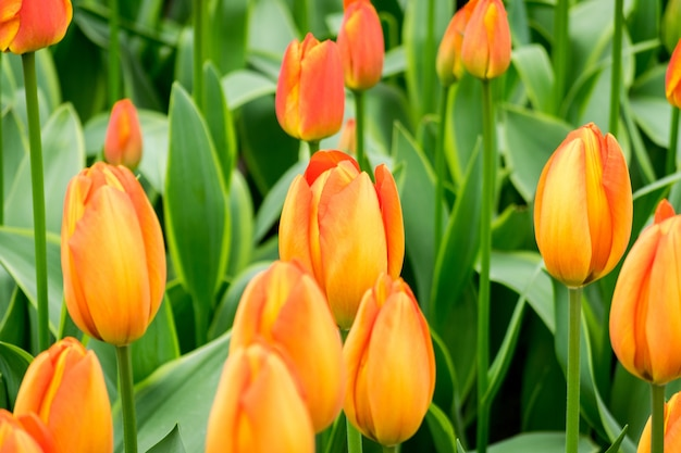 Closeup tiro das flores da tulipa laranja no campo em um dia ensolarado - perfeito para segundo plano