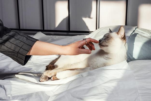 Closeup tiro das mãos de uma mulher tocando gato branco deitado na cama
