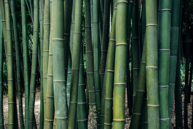 Closeup tiro de árvores de bambu