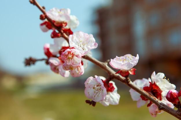 Closeup tiro de belas flores de cerejeira em um galho de árvore com um fundo desfocado