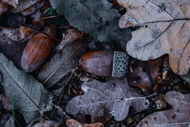 Closeup tiro de bolotas na floresta
