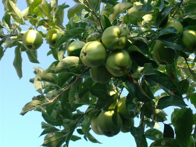 Closeup tiro de deliciosas maçãs frescas, crescendo no meio de um jardim