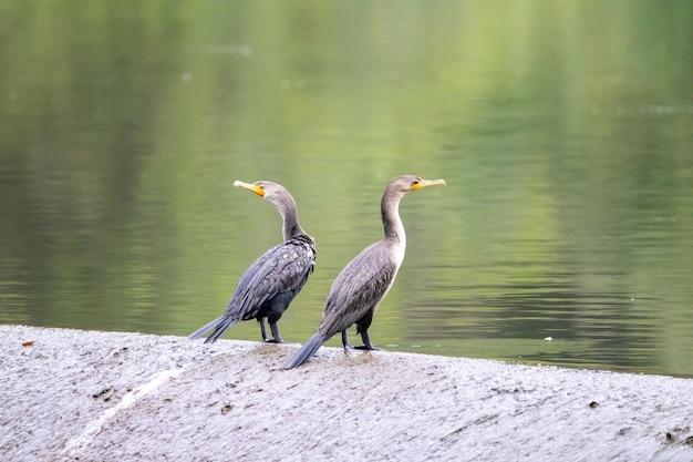 Closeup tiro de dois corvos marinhos na margem de um lago