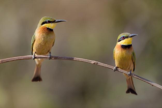 Closeup tiro de dois pássaros abelharuco em um galho