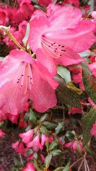 Closeup tiro de flores de azaléia rosa no jardim