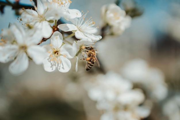 Closeup tiro de flores de cerejeira nos galhos das árvores