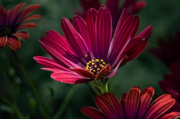 Closeup tiro de flores de osteospermum