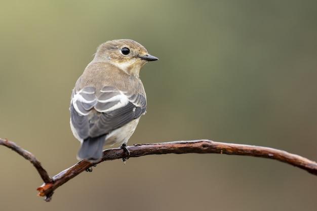 Closeup tiro de foco seletivo de um belo mockingbird do norte