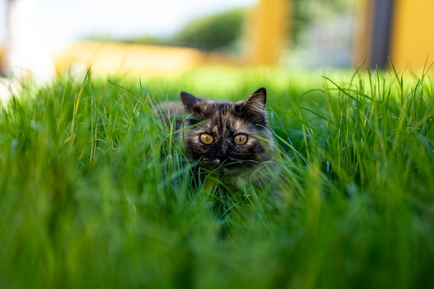 Closeup tiro de foco seletivo de um gato olhando em linha reta e sentado na grama