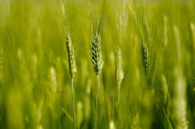 Closeup tiro de foco seletivo de um trigo em crescimento