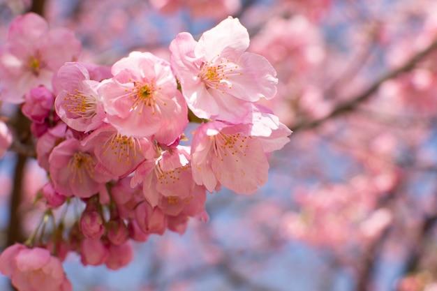 Closeup tiro de foco seletivo de uma flor de cerejeira crescendo em uma árvore