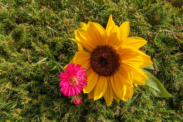 Closeup tiro de girassol amarelo e flor de margarida rosa sobre fundo verde