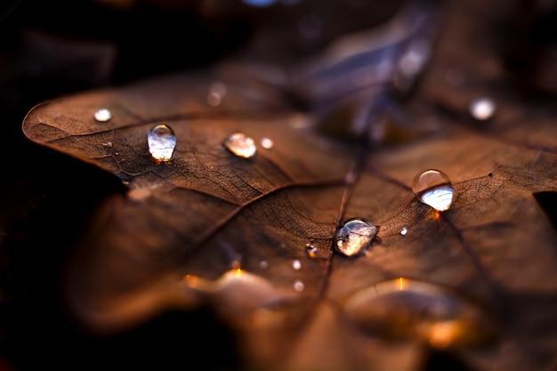Closeup tiro de gotas de água em uma folha de bordo seca
