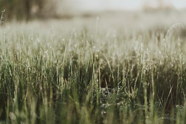 Closeup tiro de grama verde fresca em um campo com gotas de orvalho matinais