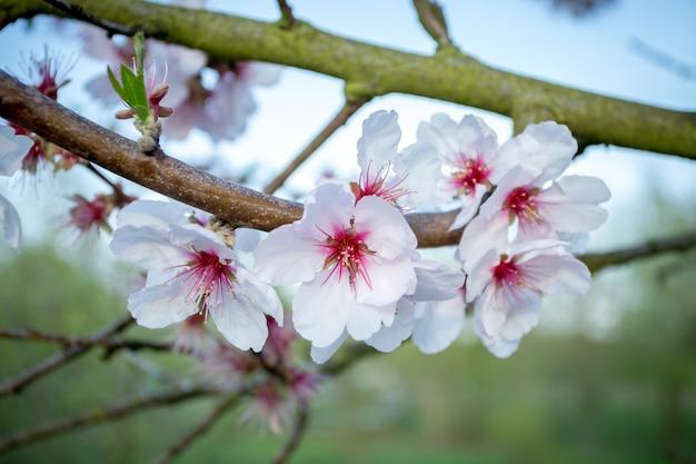 Closeup tiro de lindas flores de cerejeira