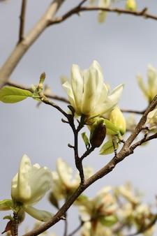 Closeup tiro de lindas flores de magnólia