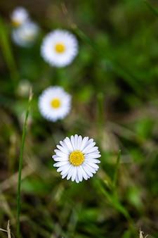 Closeup tiro de lindas flores de margarida branca