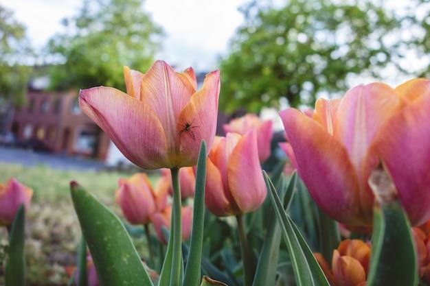 Closeup tiro de lindas tulipas cor de rosa crescendo no campo