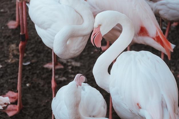 Closeup tiro de lindos flamingos cor de rosa