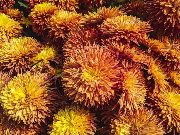 Closeup tiro de muitas flores de áster em um jardim