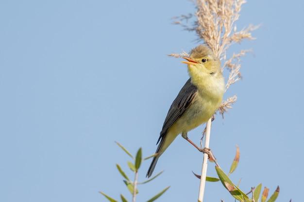 Closeup tiro de nightingale comum empoleirado em uma planta no céu azul