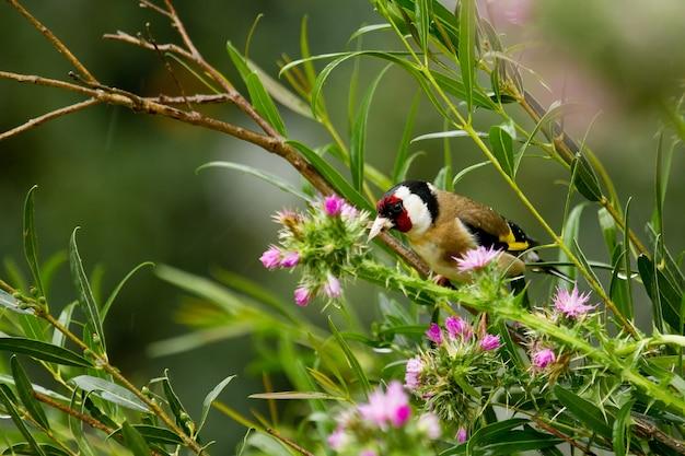 Closeup tiro de pintassilgo europeu empoleirado em um galho de árvore cercado por flores silvestres