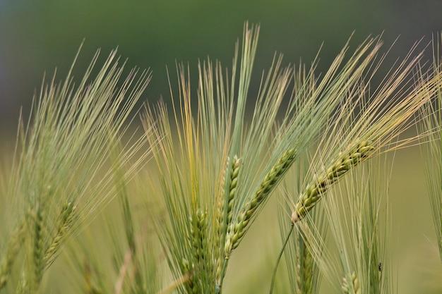 Closeup tiro de plantas triticale