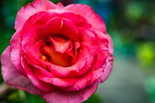 Closeup tiro de rosa rosa em um jardim em um fundo desfocado